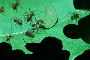 Leafcutter ants cutting pieces of leaf. (Atta cephalotes) tropical rainforest, Costa Rica - PREMAPHOTOS