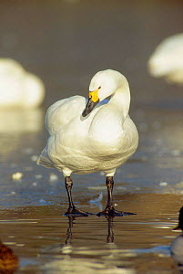 Bewicks swan standing on ice portrait (Cygnus columbianus bewickii) UK  -  WILLIAM OSBORN