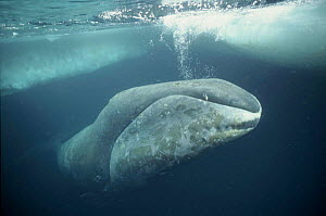 Bowhead whale just under ice,  Arctic - Martha Holmes