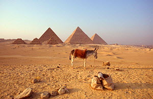 Domestic donkey in front of the famous Pyramids of Giza, Egypt - John Downer