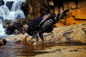 Crowned eagle (Stephanoaetus coronatus) drinks. Zimbabwe  Nyanga Inyangombe Falls - John Downer