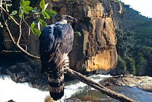 Crowned eagle at Inyangombe Falls (tephanoaetus coronatus)  Zimbabwe,  captive - John Downer