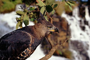 Portrait crowned eagle (Stephanoaetus coronatus), Nyanga Zimbabwe - John Downer
