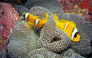 Two Bar Anemonefish, Red Sea. (Amphiprion bicinctus)  -  Francis Abbott