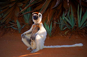 Verreaux's Sifaka with baby, Madagascar - Pete Oxford