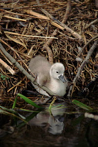 Mute swan (Cygnus olor) cygnet chick at nest at edge of water UK.  -  John Cancalosi