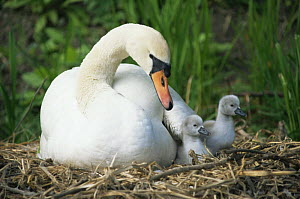 Mute swan (Cygnus olor) mother and cygnets on nest, UK  -  John Cancalosi