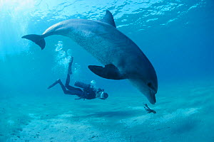 Diver films bottlenose dolphin playing with octopus. Egypt, Red Sea Model released.  -  Jeff Rotman