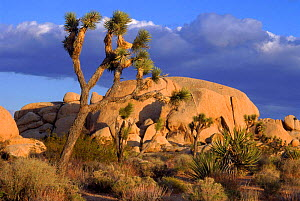 Joshua Tree (Yucca brevifolia) NM, California, USA Granite Boulders.  -  Doug Wechsler