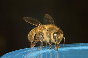 Honey bee (Apis mellifera) feeding on sugar syrup, UK - John B Free
