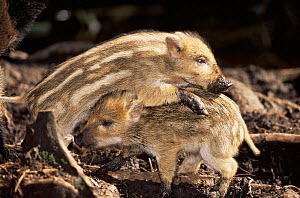 Wild boar piglets playing (Sus scrofa) Germany  -  Christoph Becker