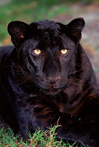 Melanistic (black form) leopard, often called black panther, USA (captive). Spots visible on legs.  -  Lynn M Stone