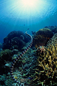 Banded sea krait, Pacific  -  Jurgen Freund