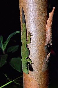 Gecko showing tail regeneration. (Phelsuma quadriocellata) Madagascar. - PREMAPHOTOS