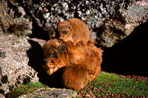 Rock hyrax (Procavia capensis) with young. Mt.Kenya NP Kenya. McKinders Camp - Keith Scholey