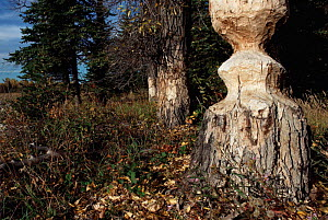 American beaver (Castor canadensis) damage to tree, Teton NP  Wyoming USA  -  JEFF FOOTT