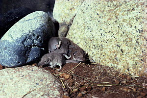 Lesser white toothed shrew (Crocidura sauveolens) with young 'caravanning'.Scilly Isles  -  Andrew Cooper