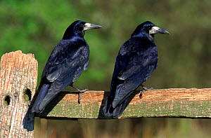 Two Rooks perched on fence post (Corvus frugilegus) England  -  Mike Wilkes