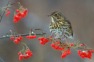 Song thrush on berry laden tree, England, UK  -  Mike Wilkes