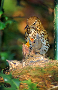 Song thrush feeds 10-day-old chicks at nest, UK  -  WILLIAM OSBORN