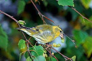 Male Siskin feeding in Silver birch tree (Betula pendula) UK  -  WILLIAM OSBORN