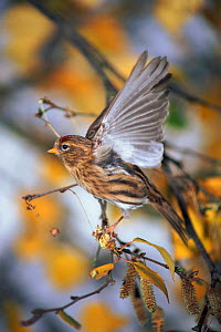 Redpoll (Carduelis flammea) female taking off from birch (Betula pendula). UK  -  WILLIAM OSBORN