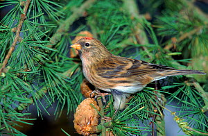 Redpoll male feeding in Larch tree (Larix decidua) UK - WILLIAM OSBORN