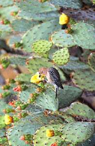 Gila woodpecker feeds on cactus in flower (Melanerpes uropygialis) Arizona, USA - David Kjaer