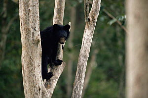 Asiatic black bear in tree(Ursus thibetanus) Huai Kha Khaeng WS, Thailand  -  Thoswan Devakul