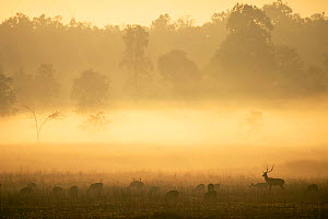 Chital / Spotted deer (Axis axis) in morning mist, Kanha NP, India - Pete Oxford