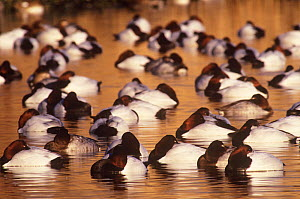 Flock of Canvasback duck (Aythya valisineria) roosting on water, Long Island, New York, USA  -  Tom Vezo