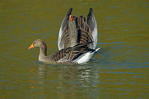 Greylag geese courtship display (Anser anser) Gloucestershire UK  -  David Kjaer