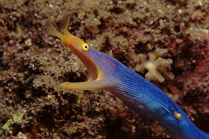 Ribbon eel - blue male. Indo-Pacific  -  Jurgen Freund