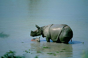 Indian rhino with her day-old calf (Rhinoceros unicornis) in water,  Kaziranga NP India. - Gertrud & Helmut Denzau