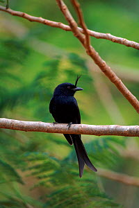 Fork tailed drongo on perch. Madagascar  -  Pete Oxford