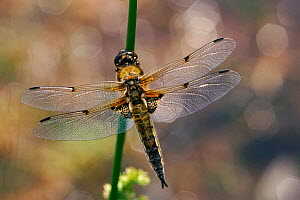 Four-spotted Libellula dragonfly resting, wings spread. Scotland, UK - Duncan Mcewan