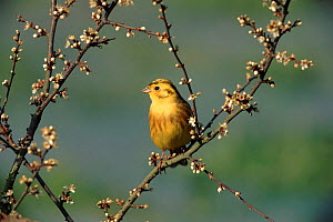 Yellowhammer (Emberiza citrinella) male. UK, Europe  -  Mike Wilkes