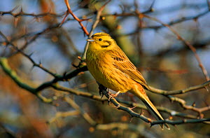 Portrait, Yellowhammer on perch. UK  -  Mike Wilkes