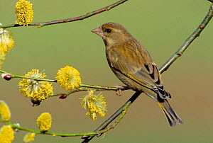 Greenfinch on flowering sallow (Carduelis chloris) Wiltshire UK  -  Mike Wilkes