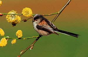 Long tailed tit & sallow flowers UK  -  WILLIAM OSBORN
