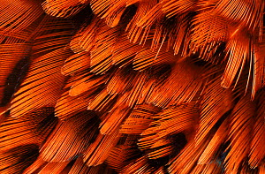 Close-up of plumage of male pheasant.  -  Niall Benvie