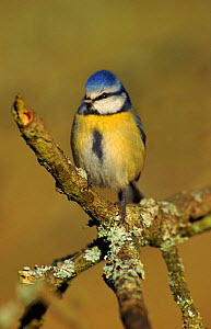 Blue tit on lichen covered perch, UK  -  WILLIAM OSBORN