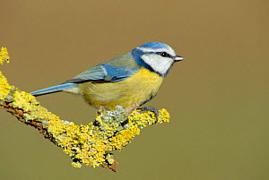 Blue tit on lichen covered perch (Parus caeruleus) UK  -  WILLIAM OSBORN