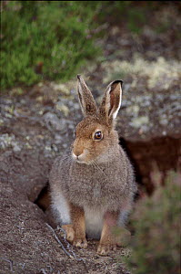 Mountain hare leveret in August. Scotland, Invernesshire  -  Niall Benvie