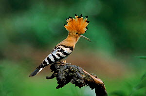 Hoopoe on perch displaying crest, Neusiedl Austria Europe  -  Hans Christoph Kappel