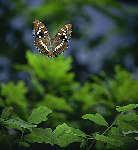 Poplar Admiral butterfly (Limenitis populi) in flight, Germany, captive  -  Hans Christoph Kappel