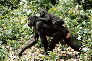 Bonobo mother carrying baby (Pan paniscus) tropical rainforest, Zaire.  -  Karen Bass