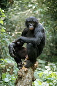 Wild Bonobo adult male, Wamba, Zaire, in tropical rain forest  -  Karen Bass
