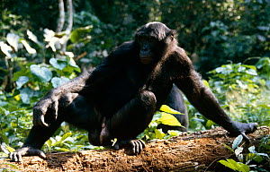Bonobo (Pan paniscus) adult male in rainforest, Wamba, Zaire  -  Karen Bass
