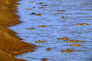 Spectacled caiman (Caiman crocodilus) gathered in large numbers in river in dry season, Venezuela, South America  -  RICHARD KIRBY